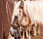 Foal, close up. Small horse (Pony), close-up Stock Image