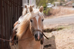 Foal, close up. Small horse (Pony), close-up Royalty Free Stock Photo