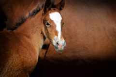 Foal. Close-up foal on a background of brown leather horse Royalty Free Stock Photos