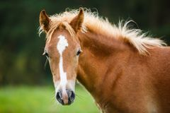 The foal close up. Portrait of the foal close up in summer Royalty Free Stock Photo