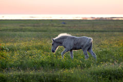 Foal on coastal meadow Stock Photo