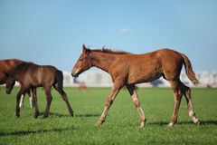 Foal come up the herd Royalty Free Stock Photography