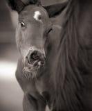 Foal con il fronte divertente da Mare Immagine Stock