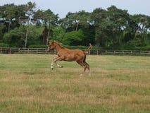 Foal corrente Immagine Stock Libera da Diritti
