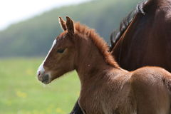 Foal in countryside Stock Images