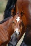 Foal curioso del cavallo del thoroughbred immagini stock libere da diritti