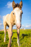 Foal. A cute foal looks at the camera Stock Photos