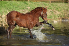 Foal of czech sport pony in the water Royalty Free Stock Photo