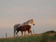 Foal d'alimentazione della cavalla Fotografia Stock Libera da Diritti