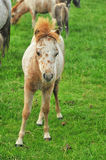 Foal dai mini cavalli americani Fotografia Stock Libera da Diritti