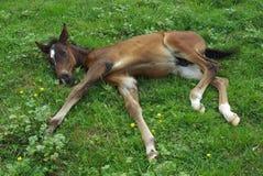 Foal dalla corsa di Lipitan immagine stock libera da diritti