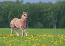 Foal in dandelion field Stock Photography