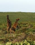 Foal Dartmoor παιχνίδι στοκ εικόνα με δικαίωμα ελεύθερης χρήσης