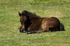 Foal Dartmoor στοκ εικόνες