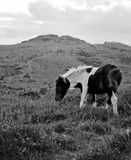 Foal on Dartmoor Royalty Free Stock Images
