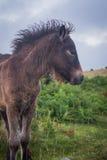 Foal on Dartmoor stock images