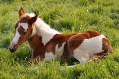 Foal dei giovani immagini stock