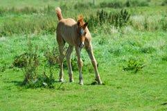 Foal dei giovani Fotografia Stock