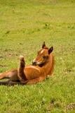 Foal dei giovani che esamina coda Immagini Stock
