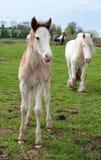 Foal dei giovani con la madre su un prato Fotografie Stock