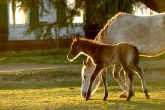 Foal dei giovani con la mamma 02 Fotografie Stock