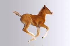 Foal del bambino Fotografia Stock