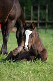 Foal del Brown immagini stock