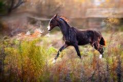 Foal del Brown Akhal-Teke Fotografia Stock