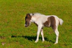 Foal del cavallino Immagine Stock