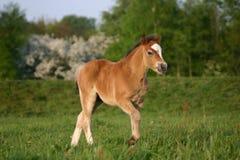 Foal del cavallino del Brown lingua gallese Immagine Stock Libera da Diritti