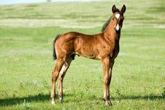 Foal del cavallo quarto Fotografia Stock Libera da Diritti