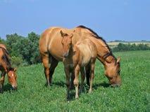 Foal del cavallo quarto del Dun Fotografia Stock