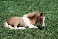 Foal del Palomino Fotografie Stock