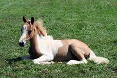 Foal del Palomino Immagini Stock