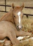 Foal del Palomino Fotografia Stock
