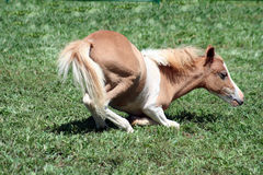 Foal del Palomino che si trova giù fotografia stock