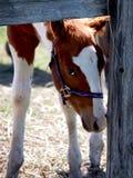 Foal del Pinto Fotografia Stock