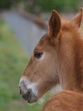 Foal del punzone della Suffolk Fotografia Stock
