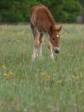 Foal del punzone della Suffolk Fotografia Stock Libera da Diritti