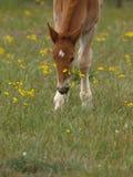 Foal del punzone della Suffolk Fotografie Stock Libere da Diritti