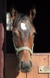 Foal del ritratto Fotografia Stock