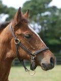 Foal del Thoroughbred Fotografia Stock