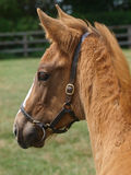 Foal del Thoroughbred Fotografia Stock Libera da Diritti