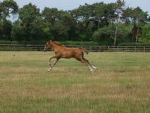 Foal del Thoroughbred Immagini Stock