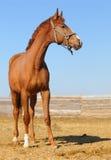 Foal dell'acetosa Fotografie Stock Libere da Diritti