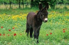 Foal dell'asino Immagine Stock