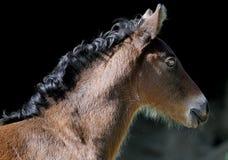 Foal della baia del Brown Immagine Stock Libera da Diritti
