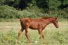 Foal della castagna Immagini Stock Libere da Diritti