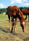 Foal della castagna Fotografia Stock Libera da Diritti
