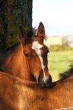 Foal della contea Fotografia Stock